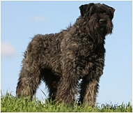 The Bouvier des Flandres Dog Breed