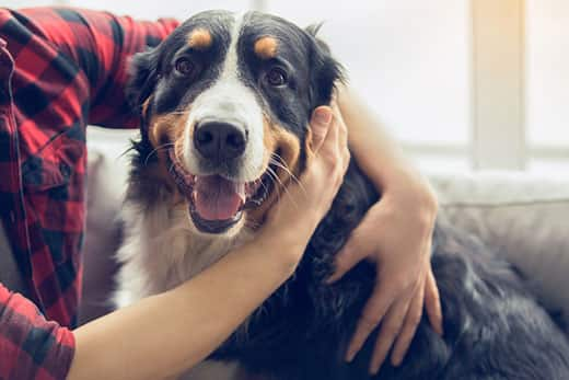 Young man in plaid shirt rubbing the ear of a smiling Bernese mountain dog.