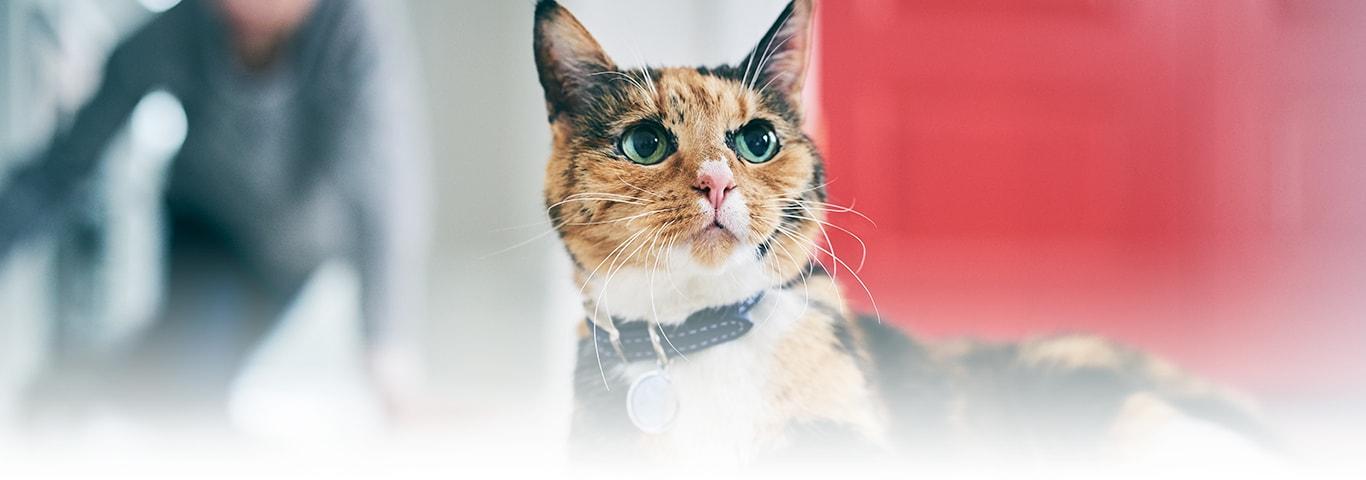 55cb76a5c9f1 Οι περισσότερες γάτες δεν είναι τόσο καλοί ταξιδιώτες – συνήθως δημιουργούν  ισχυρούς δεσμούς με την περιοχή τους και νιώθουν ευάλωτες όταν βρίσκονται  εκτός.